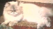 Продаю персидскую кошку